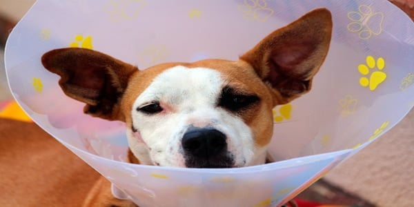 perro con collar isabelino