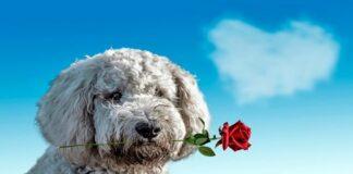 perro con una rosa en la boca