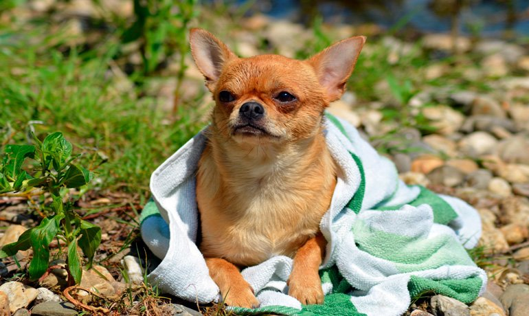 perro con toalla
