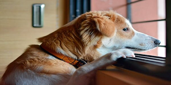 Perro esperandop a su dueño mientras mira por la ventana