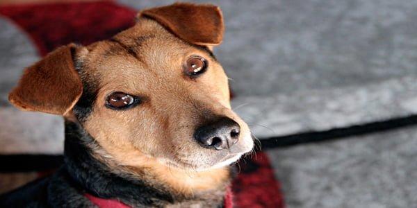 perro observador