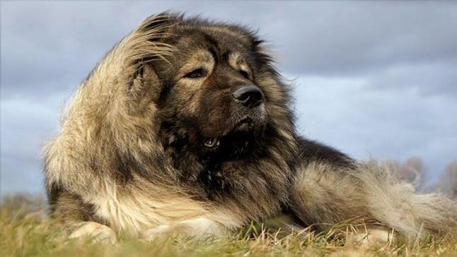 perro pastor caucasico