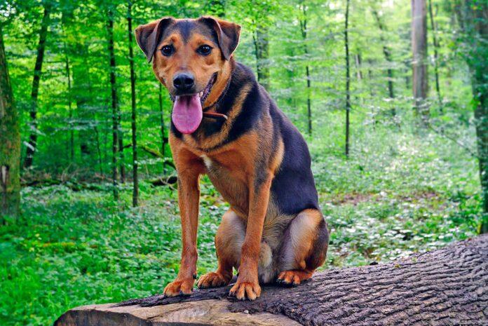 Syndrome de la queue de cheval chez les chiens
