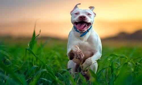 perro pitbull corriendo