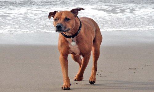 perro pitbull jugando en la playa