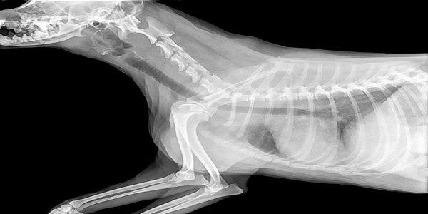 radiografía perro