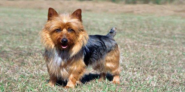 Perro terrier Australiano marrón y negro