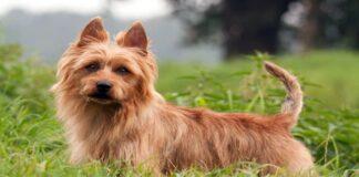 Perro terrier Australiano