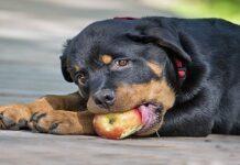 cachorro de rottweiler comiendo