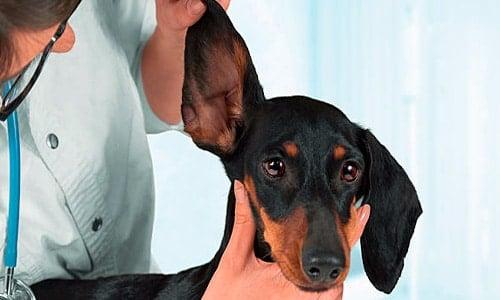 Symptômes de champignons de chien et traitements efficaces