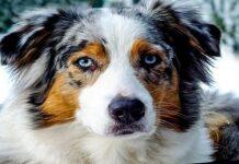 perro pastor australiano