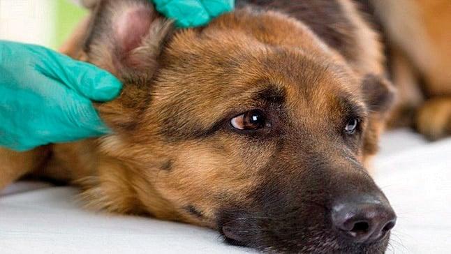 vérifier l'oreille du chien