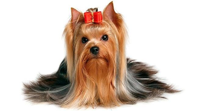 Resultado de imagen para Yorkshire terrier