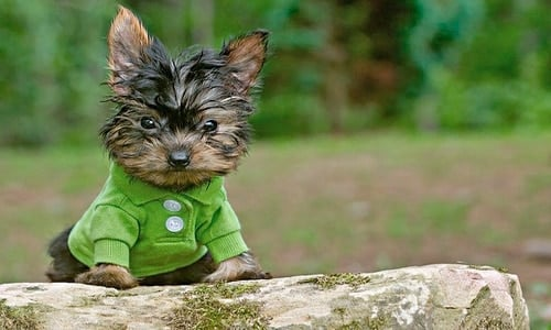 Yorkshire terrier con ropa