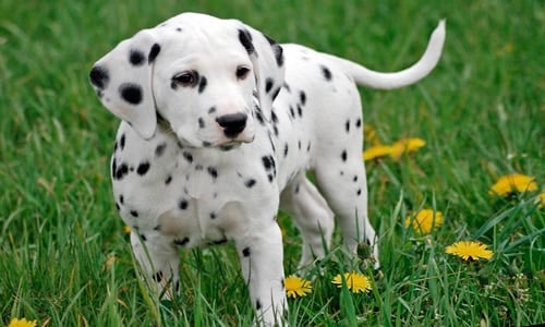 cachorro raza dalmata