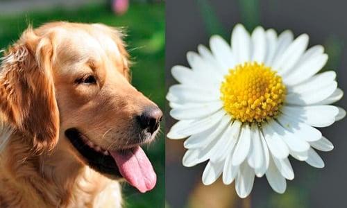 perro y manzanilla