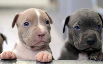 diferentes tipos de pitbull