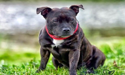 "staffordshire bull terrier ""width ="" 500 ""height ="" 300 ""srcset ="" https://soyunperro.com/wp-content/uploads/2019/03/staffordshire-bull-terrier.jpg 500w, https: // soyunperro. com / wp-content / uploads / 2019/03 / staffordshire-bull-terrier-300x180.jpg 300w ""tailles ="" (largeur max: 500px) 100vw, 500px"