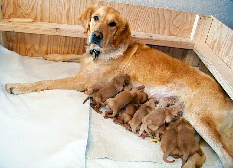 cachorros-amamantados-por-perra