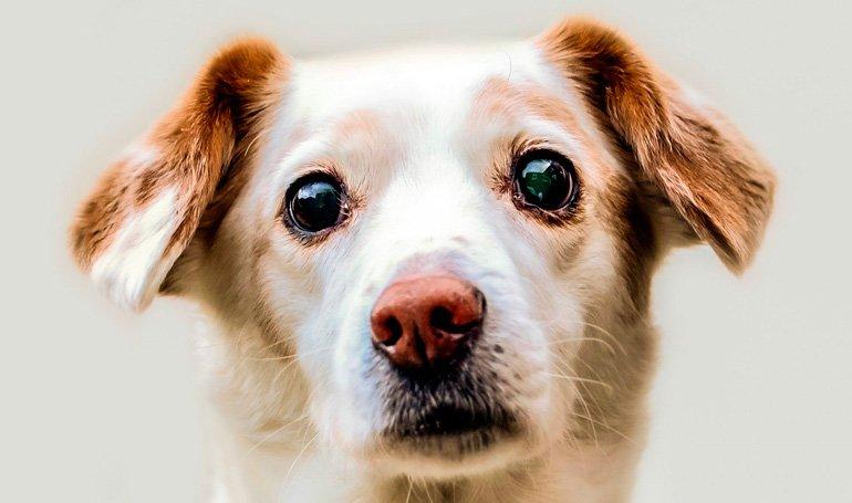 perro-con-epifera