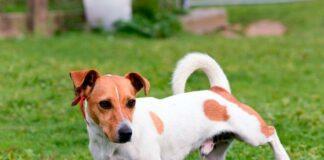 perro-con-infección-de-orina