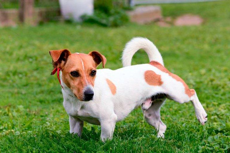 infeccion de pis linear unit perros antibiotico