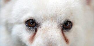 perro-con-lagrimales-marcados