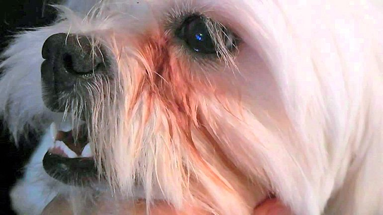 perro-con-manchas-bajo-el-ojo