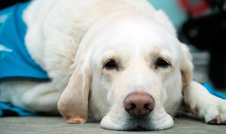 perro-decaido-por-infección-en-próstata