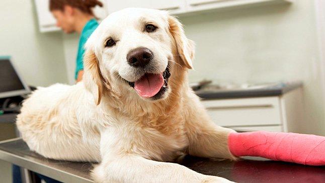 perro con artitis en una pata