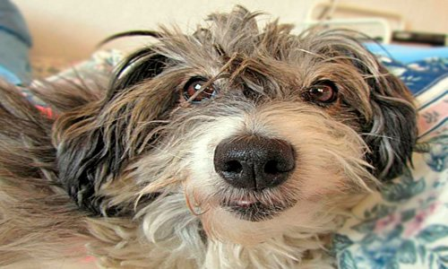"""chien malade """"width ="""" 500 """"height ="""" 300 """"srcset ="""" https://soyunperro.com/wp-content/uploads/2019/04/perro-enfermo.jpg 500w, https://soyunperro.com/wp -contenu / téléchargements / 2019/04 / chien-malade-300x180.jpg 300w """"tailles ="""" (largeur max: 500px) 100vw, 500px"""