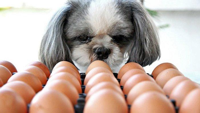 perro-mirando-huevos-de-gallina
