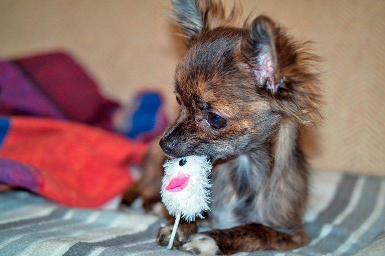 perro-pequeño-se-traga-un-juguete