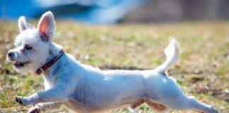 perro-sin-testículos