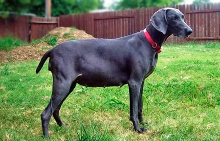 perra con abdomen inflamado
