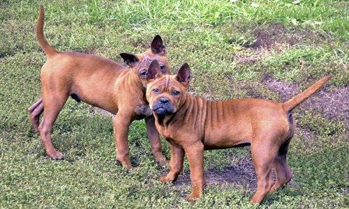 perros Chongqing