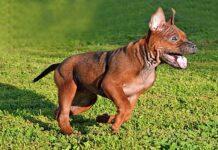 cachorro de Chongqing