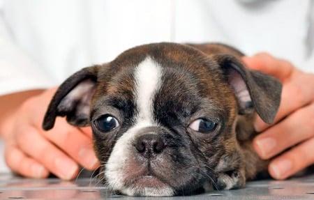 perro enfermo de hepatitis autoinmune