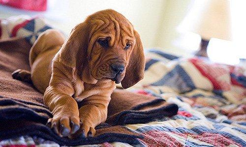 cachorro-de-san-humberto