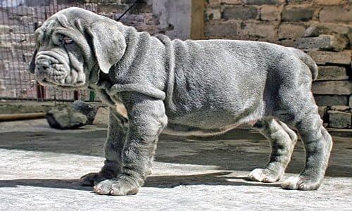 cachorro-mastin-napolitano