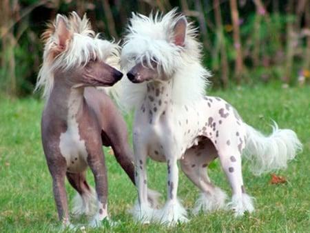 perro sin pelo crestado chino