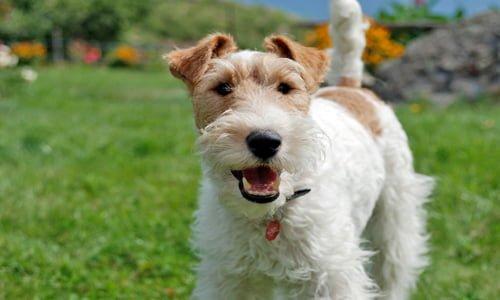 perro de caza fox terrier