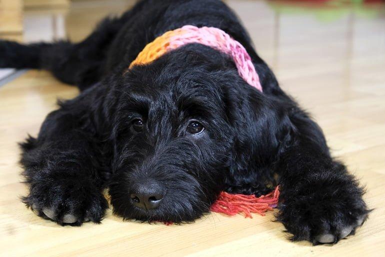 perro-con-colapso-traqueal