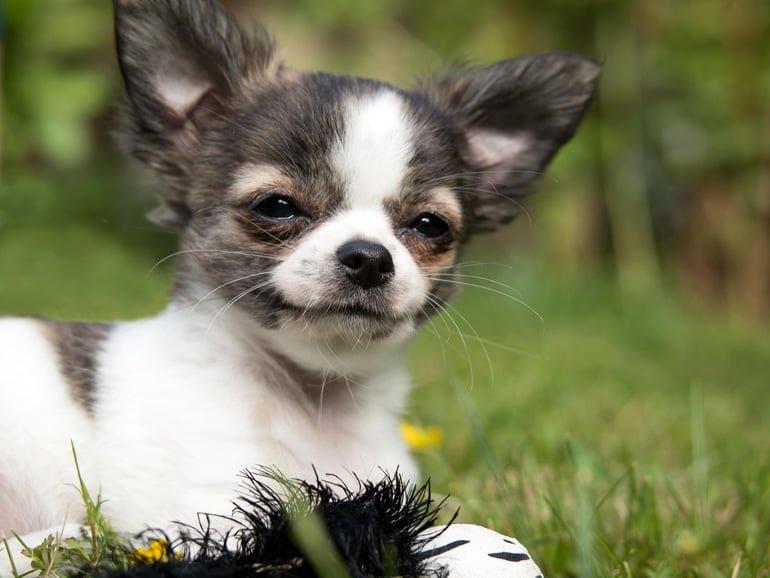perro-de-raza-chihuahua-con-ruidos-al-respirar
