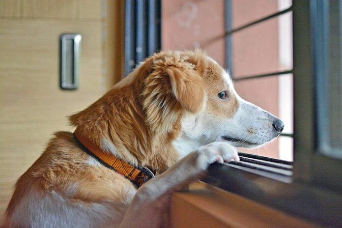 perro-esperando-en-casa