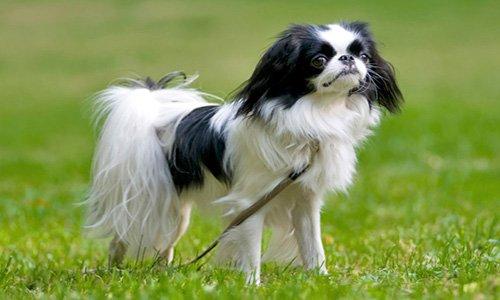 perro-spaniel-japones