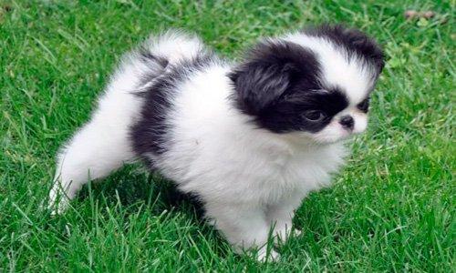 spaniel_japones_cachorro