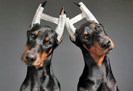 vendaje correctivo en orejas de perro