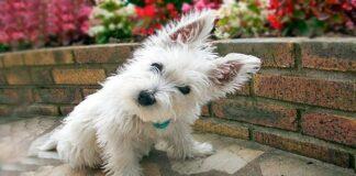 perro westie