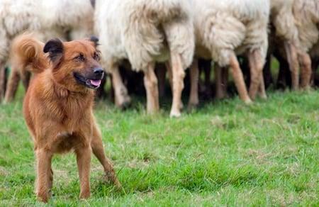 pastor vasco con el rebaño